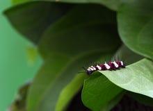 Stor trädnymf Caterpillar Royaltyfria Bilder