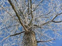 Stor trädsikt underifrån, på fördelande filialer som täckas med snö och rimfrost Arkivbilder