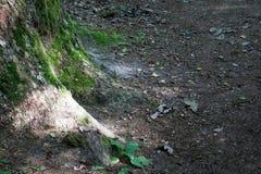 Stor trädstam med mossa i skog för sommardag Royaltyfri Foto
