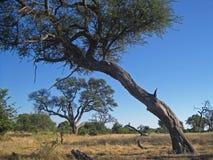 STOR TRÄDSTAM SOM VÄXER MED EN LUTA I AFRIKANSK VILDMARK royaltyfri fotografi