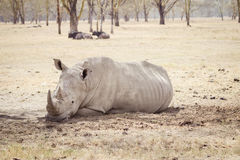 Stor trött noshörning Fotografering för Bildbyråer