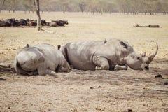 Stor trött rhinoceros& x27; Royaltyfri Bild