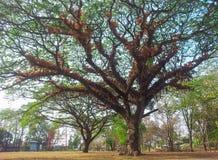 Stor tree Arkivbilder