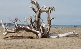 stor tree för driftwood royaltyfri foto