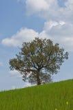 stor tree tuscany Fotografering för Bildbyråer