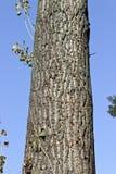 stor treestam Fotografering för Bildbyråer