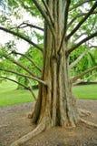 Stor Treestam och långa filialer på Brookeside Ga Fotografering för Bildbyråer