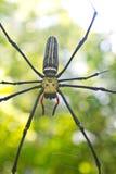 Stor tropisk spindel - nephila (den guld- orben) royaltyfria bilder
