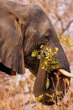 stor tuggaelefant för filial arkivbilder