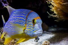 Stor ukrainsk fisk Arkivbild