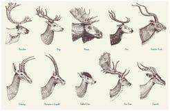 Stor uppsättning av hornet, horn på kronhjortdjur älg eller älg med impalan, gasell och större kudu, dovhjortren och fullvuxen ha royaltyfri illustrationer