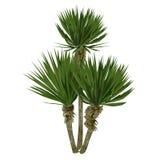 Stor växt av en palmlilja Royaltyfria Foton