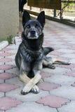 Stor vakthund på förberedande gård Den korsade hunden tafsar arkivbild