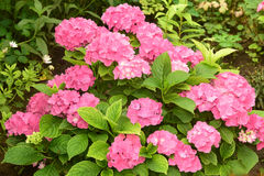 Stor vanlig hortensia Royaltyfria Foton