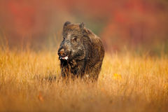 Stor vildsvin, Susscrofa som kör i gräsängen, röd höstskog i bakgrund Royaltyfri Bild