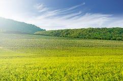 Stor vingård med kullar i bakgrunden - landskap arkivfoto