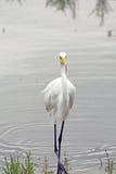 Stor vit ägretthäger Fotografering för Bildbyråer