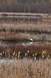 Stor vit ägretthäger eller vithäger Royaltyfria Foton