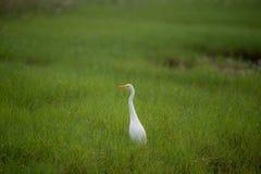 Stor vit ägretthäger i ett grönt fält Arkivbilder