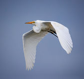 Stor vit ägretthäger i flykten över blå himmel Royaltyfria Bilder