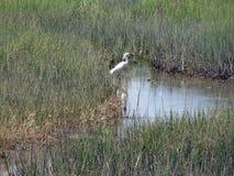 Stor vit ägretthäger i träsk Royaltyfri Foto
