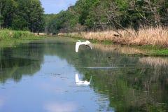 Stor vit ägretthäger som flyger över flodarmen Royaltyfri Foto