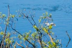 Stor vit ägretthäger som landar en hög av drivaträ Royaltyfri Foto