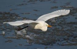 Stor vit ägretthägerfluga över den djupfrysta floden Royaltyfri Bild