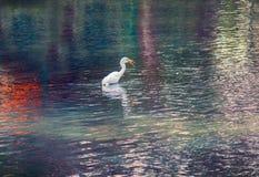 Stor vit ägretthägerjakt för liten fisk fotografering för bildbyråer