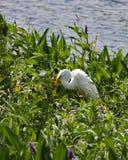 Stor vit ägretthägerjakt i Pickerelweedväxterna royaltyfri fotografi