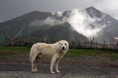 Stor vit asiatisk får-hund royaltyfria foton