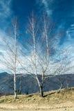 Stor vit björk utan sidor mot den blåa himlen arkivbild