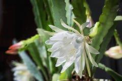 Stor vit blomma av Epiphyllum Denna är en suckulent växt, kaktus arkivbilder