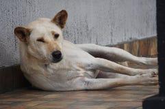 Stor vit blond hund som framme ligger på golvet av huset Royaltyfria Foton