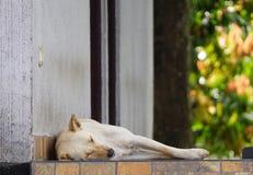 Stor vit blond hund som ligger på sova för golv Royaltyfri Foto
