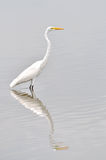 Stor vit egret Royaltyfri Fotografi