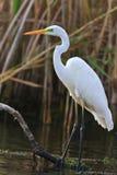 Stor vit egret Fotografering för Bildbyråer