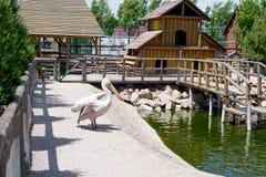 Stor vit eller den östliga vita pelikan, den rosiga pelikan eller den vita pelikan är en fågel i pelikanfamiljen Det föder upp fr Arkivbild