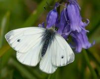 Stor vit fjäril på blåklockablomman Arkivbild