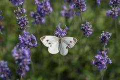 Stor vit fjäril på den violetta levanderblomman Arkivbilder