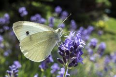 Stor vit fjäril på den violetta levanderblomman Royaltyfria Foton
