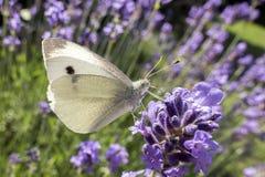 Stor vit fjäril på den violetta levanderblomman Royaltyfria Bilder
