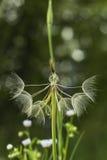 Stor vit fluffig maskrosblomma Avlägsen släkting av maskrosen - haverrot Tragopogonblomma Frö uthärdas i fluffigt jordklot fotografering för bildbyråer