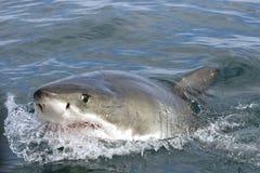 Stor vit haj arkivbilder