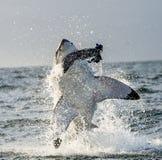 Stor vit haj & x28; Carcharodoncarcharias& x29; bryta igenom i en attack Royaltyfri Foto