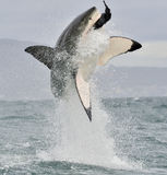 Stor vit haj (Carcharodoncarcharias) som bryter igenom i en attack Arkivfoton
