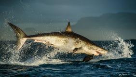 Stor vit haj (Carcharodoncarcharias) som bryter igenom i en attack royaltyfria foton