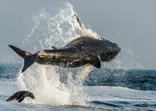 Stor vit haj (Carcharodoncarcharias) som bryter igenom i en attack på skyddsremsan Jakt av en stor vit haj (Carcharodoncarcharias Arkivbilder