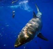 Stor vit haj med skadat rygg- Royaltyfri Bild