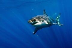 Stor vit haj som är klar att anfalla royaltyfria foton